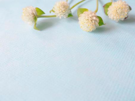 Autumn flower White amaranth (Chinese red)