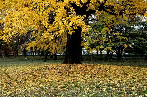 Kyoto Autumn leaves in Kyoto Kyoto Gyoen