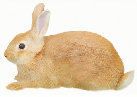 토끼 (흰색 배경)