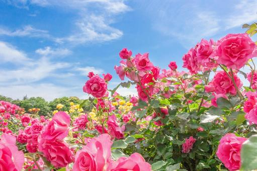 Pink roses and blue sky 1