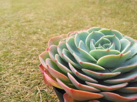 Succulent Echeveria Seven Lucky Gods