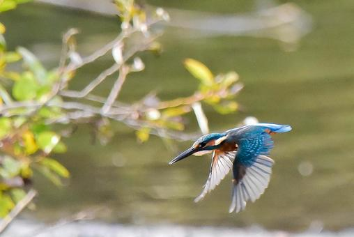 Wild bird kingfisher