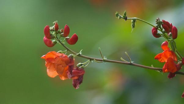 紅豆紅色的花