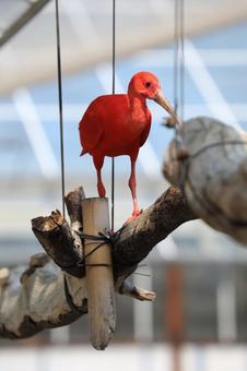 Crimson bird