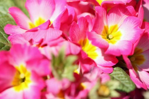 Primula flower 09