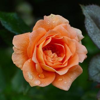 三文魚粉紅玫瑰水滴科學名稱孟加拉語