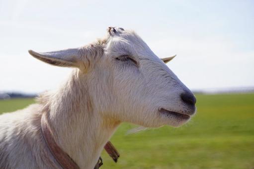 Goat Goat