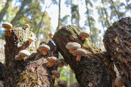 원목 표고 버섯
