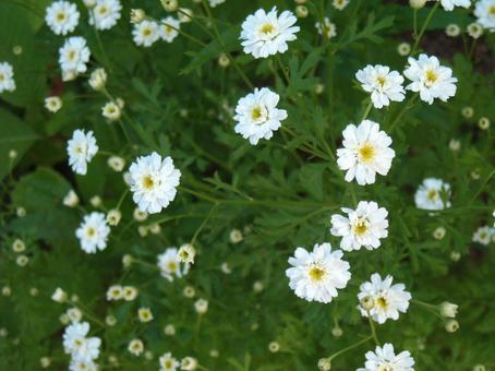 Summer chrysanthemum 2