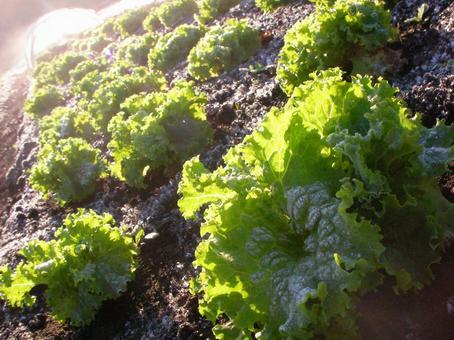 [밭] 상추 잎 상추 텃밭 겨울 야채 자연