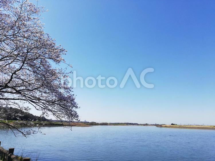 桜と青空と水辺の写真