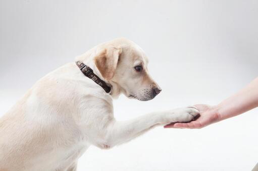 Handle Labrador Retriever 1