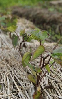 [밭 고구마 심기 모종 심기 텃밭 자연 식물 풍경 6 월 세로 이미지