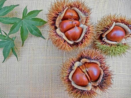 Chestnut with iga 30