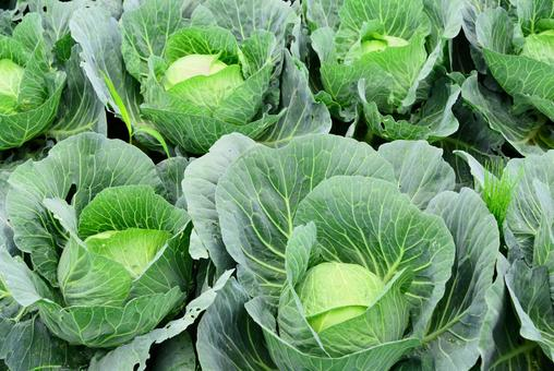 Agriculture, vegetable field (cabbage) 2