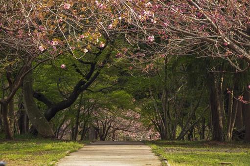 櫻花盛開的風景