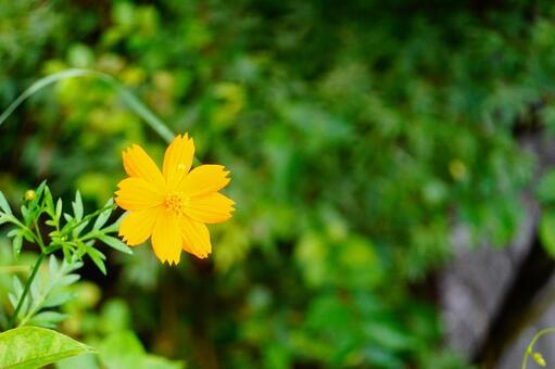 Kibana cosmos flower