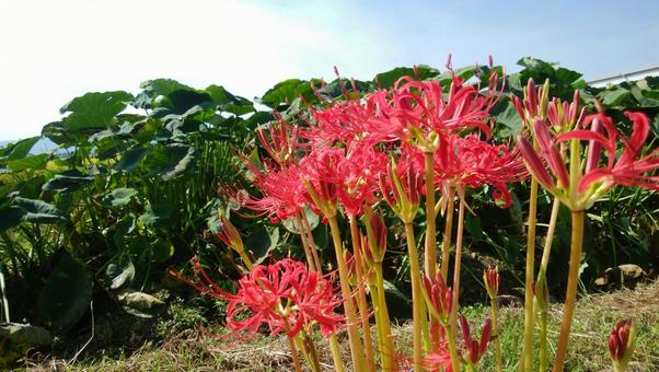 Cluster amaryllis and taro field