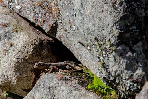 마추피추에 있던 도마뱀
