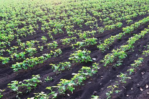 일면 밭의 새싹 콩밭 모종 콩 재배