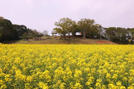 전 미호의 유채 꽃