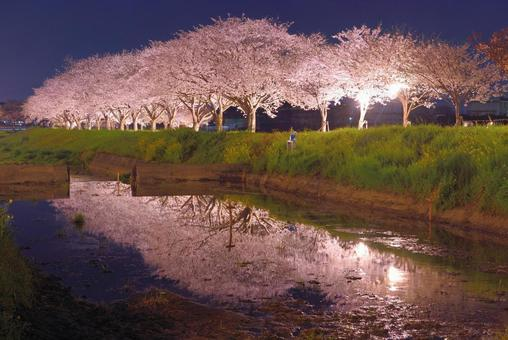 Illumination of cherry blossom trees on the Kusaba River