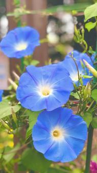 明亮的天藍色牽牛花牽牛花天藍色背景垂直