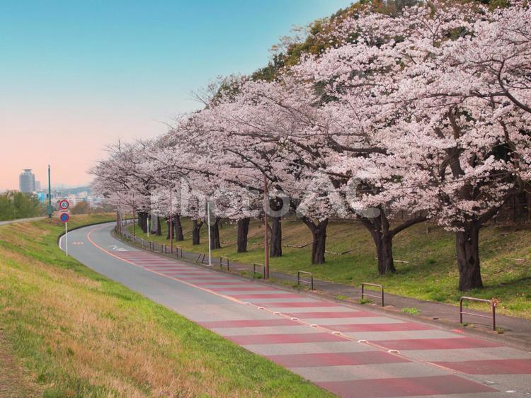 府中かぜのみち桜並木の写真