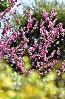 Hanamomo in spring