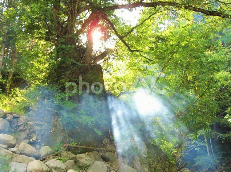 新緑の森 木漏れ日の写真