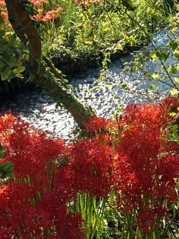 Higanki flower blooming waterside