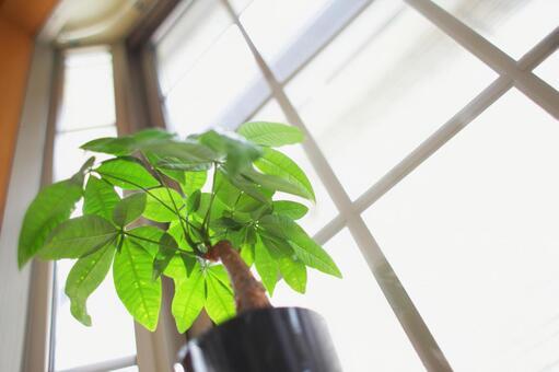 Ornamental plants_Pachira