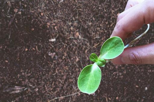 손에 든 해바라기 새싹과 흙