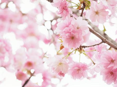 분홍색의 벚꽃 겹 벗나무 봄 이미지