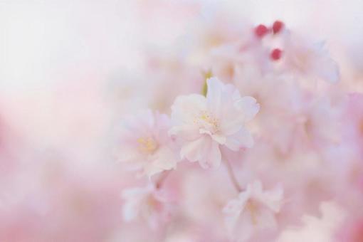 수양 벚나무 클로즈업