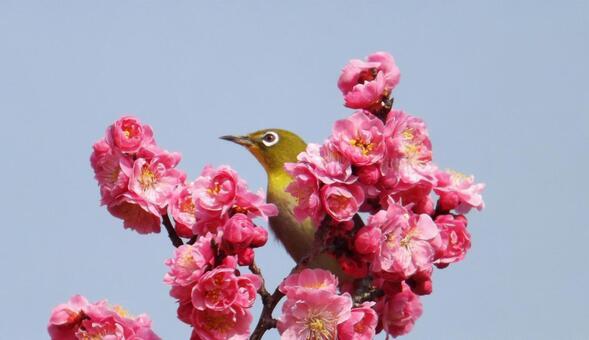 梅の花と可愛いメジロ-1_Plum blossoms and cute birds