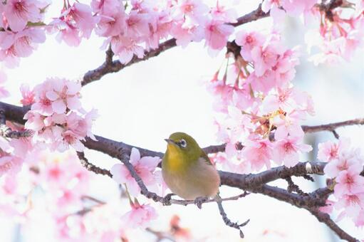 樱花和mezzo
