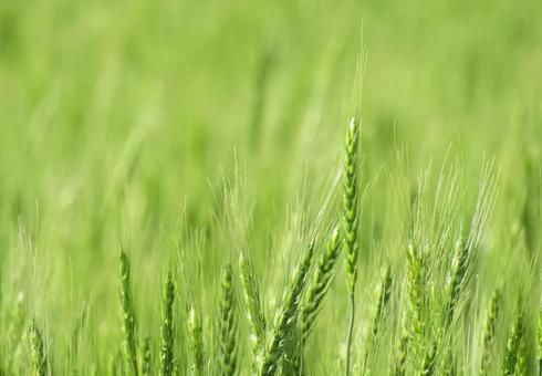 蓬鬆的麥田