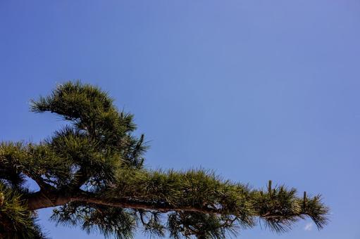 하늘과 소나무