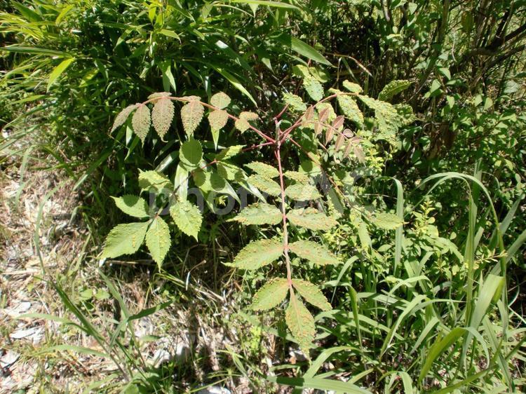 ウルシの木の写真