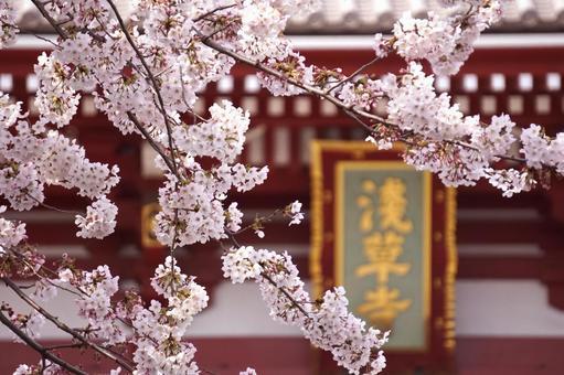 Sensoji and cherry blossoms