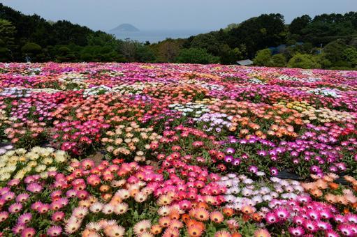 노 코노 시마의 꽃밭