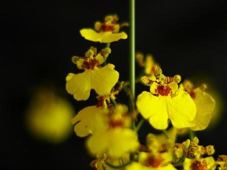 Beautiful Oncidium