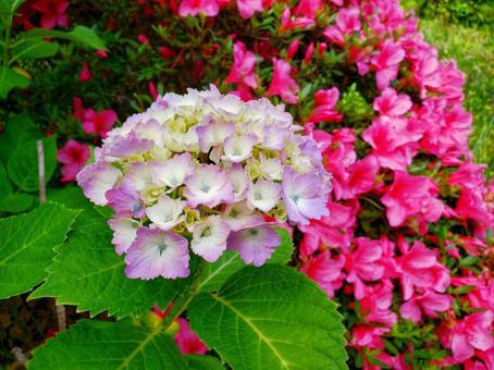 Hydrangea and azalea
