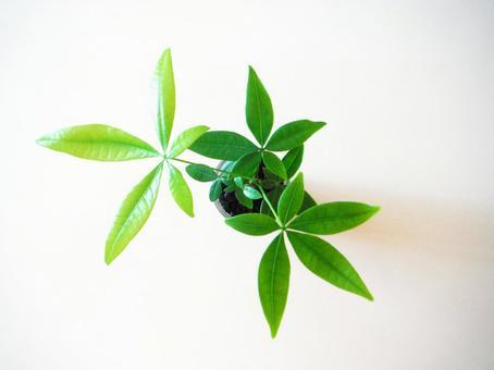Pakira | foliage plant
