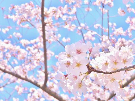 Pink cherry blossoms shining in the sky
