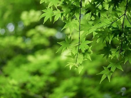 Fresh green maple