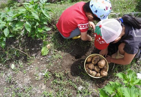 A child digging potatoes 01