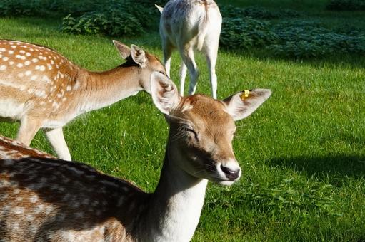 A dazzling face closing the deer eyes in a park in London