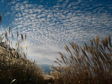 Cirrocumulus and pampas grass